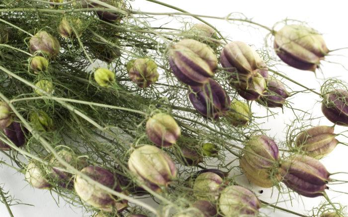 ガクが散り、バルーン状に膨らんだニゲラの実はドライフラワーとしても楽しめます。