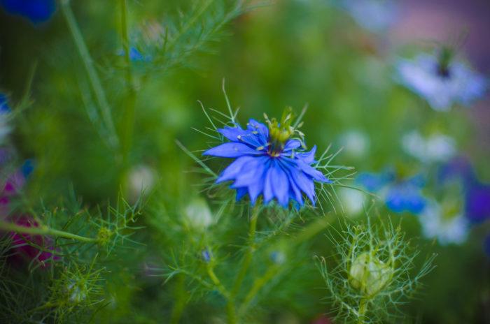 ■学名 Nigella damascena L  ■和名  クロタネソウ  ■キンポウゲ科クロタネソウ属  ■一年草  ■原産国 地中海沿岸 西アジア    ニゲラは桜の花が咲き終わる頃~7月頃に、草丈40㎝~90㎝程の繊細な細い茎が伸びて枝分かれをし、その先に3㎝~5㎝の花を一輪咲かせ、花は細かく裂けた様な柔らかい糸状の葉に覆われて、青や白、ピンク、紫色をした花びらに見えるガクを包み込む様にふんわりと優しい雰囲気で咲いています。  花びらのようなガクが散ると花はバルーン状に膨らんで、ツノのような突起がユニークな形を楽しめる植物です。  膨らんだ後はそのままドライフラワーとして乾燥させても楽しめます。  また、花や実はブーケやアレンジメントに入れて楽しむ事が出来、春らしくフワッとした優しい風合いや、夏にはレースの様な葉が涼しげで少し入れるだけで季節に似合うブーケやアレンジメントに仕上がります。