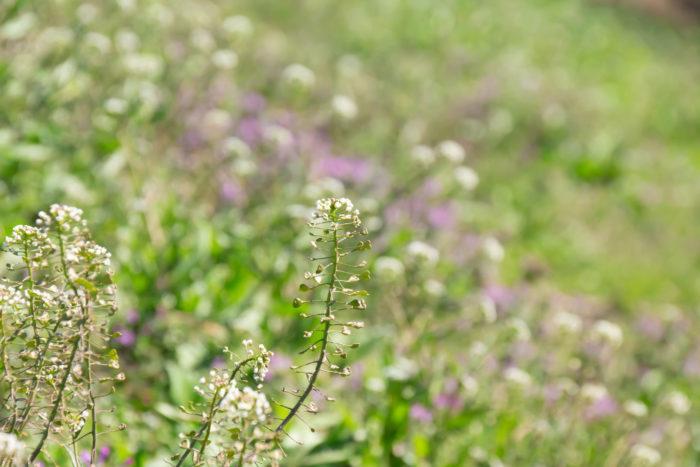 ■植物名 ナズナ(薺)  ■学名 Capsella bursa pastoris  ■アブラナ科ナズナ属  ■越年草   ナズナ(薺)は小さな白い花が清楚で花びらは4枚、よく見ると十字型をしています。  花が終わり夏が過ぎると、その実はハート型をしていて可愛らしい植物です。  名前の由来は、撫でたくなるくらい可愛いという「撫菜(なでな)」からナズナに変化したという説や、密集して咲き、互いに馴染み合っている様子が「馴染む菜」からナズナと呼ばれる様になった等、幾つかの説がある様です。  ナズナは別名も馴染み深く有名で「ぺんぺん草」と呼ばれていますが、この名前は夏が過ぎてハート型の実が膨らんだ様子が三味線のバチに似ている事からその名が付きました。  最近は切り花としても人気が高く、花束に入れると繊細なラインが他のお花との相性がよく花束全体が優しくまとまります。