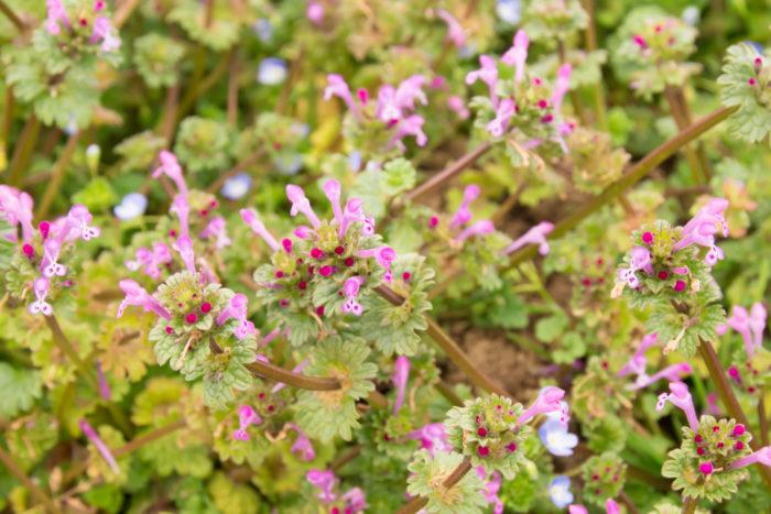 ■植物名 仏の座(ホトケノザ)  ■学名 Lamium amplexicaule  ■シソ科オドリコソウ属  ■越年草  陽ざしに春を感じる頃、野山や田畑、河原などに姿を見せてくれる植物です。  秋に芽吹き春が近づくと咲き始めます。姿は茎から段々に傘を広げたように葉を広げ、葉の根元から赤紫色の小さな1㎝程の花がピョンと飛び出る様に咲いています。  花の形は筒状で花は舌をだして大きな口で笑っているような明るい様子です。  この季節に咲く「ホトケノザ」は、春の七草の「ホトケノザ」とは違う種類です。