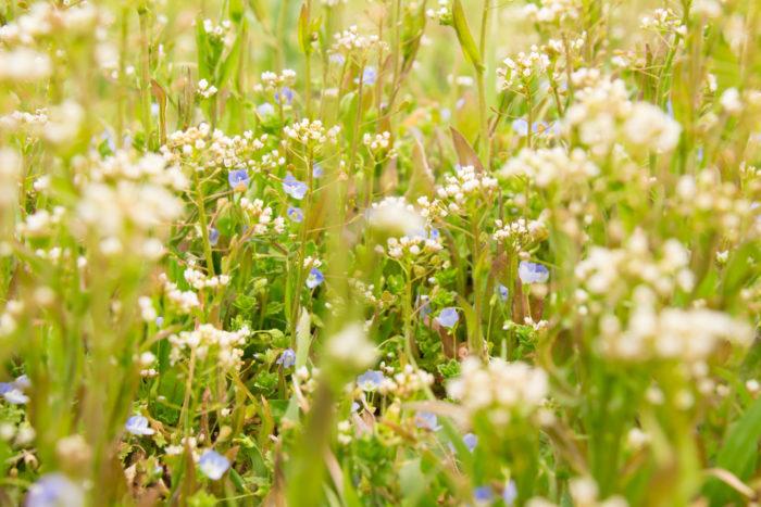 春になると咲き始める、野の花々。