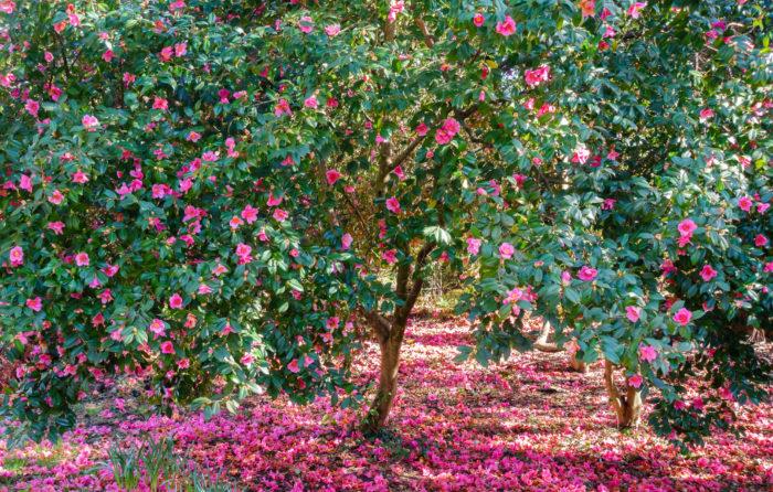 """椿(つばき)と山茶花(さざんか)。  どちらも庭木として親しまれている植物ですが花も葉もよく似ていています。  これは?椿?山茶花?と迷ったときの簡単な見分け方をご紹介します。  先ずは開花時期ですが2つを比べてみます。  ■椿は寒椿(11月~2月)と椿(1月~5月)  ■山茶花は春山茶花(2月~4月)と山茶花(11月~2月)  山茶花も椿も11月頃から5月頃まで、入れ替わり立ち代わりバトンタッチするように開花時期が続きます。  花が咲いている時期の見分け方は椿は花が丸ごと落ちますが、山茶花は花びらが一枚づつ散ります。  寒椿(かんつばき)は花びらが一枚づつ散り、春山茶花(はるさざんか)も花びらが一枚づつ散ります。  寒椿の花は小ぶりで山茶花との見分け方が難しいく、何だかナゾナゾの様になってきましたが、その場合、葉で区別します。  葉の裏を見ると椿はツルツルなのに対して山茶花の葉は裏は中央脈(葉の真ん中にある脈)に褐色の繊毛(産毛の様な毛)が生えています。  この見分け方で、花が咲いていない6月~10月の期間も区別する事が出来ます。  普段はあまり気にする事もない葉の裏の小さな世界に目を向ける楽しさもまた、植物と過ごす素敵な時間です。  <div class=""""posttype-post shortcode""""><div id=""""posts"""" class=""""default-posts""""><article><a href=""""https://lovegreen.net/gardentree/p67942/"""" class=""""clickable""""></a>     <div class=""""thumbnail"""" style=""""background-image:url(https://lovegreen.net/wp-content/uploads/2016/12/0550194e2c9f73482840d374441f9350.jpg);"""">         <a href=""""https://lovegreen.net/gardentree/p67942/""""></a>   </div>   <div class=""""top-post-ttl-extext"""">     <h2><a href=""""https://lovegreen.net/gardentree/p67942/"""">椿(ツバキ)と山茶花(サザンカ)を見分ける方法をご紹介</a></h2>     <p><a href=""""https://lovegreen.net/gardentree/p67942/"""">椿(ツバキ)と山花茶(サザンカ)はよく似ている。同じツバキ科の植物だけど、何故違う種類なのか分からないほど似…</a></p>     <p class=""""top-post-name"""">LOVEGREEN編集部</p>     <time class=""""top-post-date"""" datetime=""""2018-07-20"""">2018.07.20</time>     <span class=""""post-cat""""><a href=""""https://lovegreen.net/gardentree/"""">庭木・シンボルツリー</a></span>  </div> </article></div></div>"""
