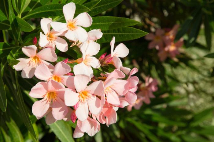 夾竹桃(キョウチクトウ)は、花、葉、枝、根、果実、すべてに毒があります。夾竹桃はさらに、その植えられている土まで毒を含ませてしまう強い毒を持っています。腐葉土にする場合も毒が抜けるまでに1年はかかると言われています。また、生木を燃やすと有毒な煙が出るため、焚き火などでうっかり燃やしたりしない様に気をつけましょう。育てやすく管理が簡単な事からも公園にもよく植えられているので、子供がおままごとなどで、口に入れたりしないように、とくに注意が必要です。  毒のある植物ですが、扱いに注意すれば、種類も多くかわいらしい花を咲かせて育てやすい植物です。