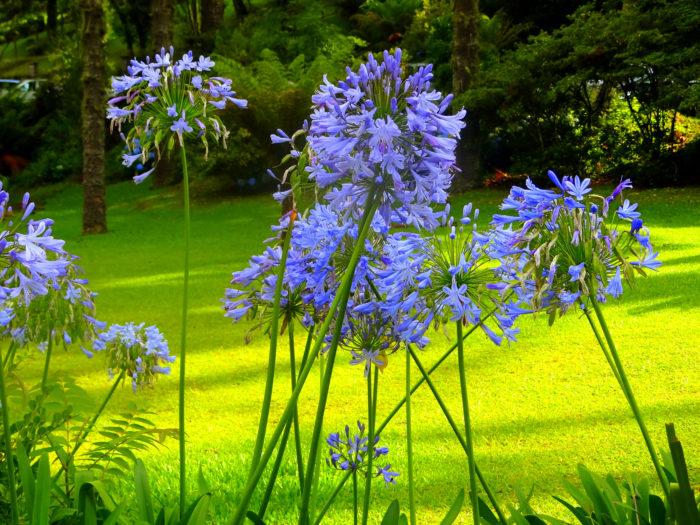 日当たり・置き場所 アガパンサスは日当たりと水はけのよい場所を好みます。日当たりは半日陰程度までなら栽培可能ですが、極端に光が足りないと花が咲きません。宿根草タイプのアガパンサスの方が耐寒性が強い性質があります。アガパンサスは品種によって丈が違うのと、数年するとかなり大きくなるので、隣の植物との間隔は大きくとったほうが良い植物です。  用土 アガパンサスはやせ地でも育つ植物なので、こだわる必要はありませんが、水はけのよい用土がおすすめです。地植えにする場合は植え付けの前に庭土と腐葉土を1対1の割合になるようにたっぷりと有機物を混ぜ込み、元肥もいれておきましょう。  水やり アガパンサスは乾燥には比較的強いですが、過湿には弱いです。水を与え過ぎると株全体が弱って根ぐされを起こすことがあります。庭植えの場合はよほど乾燥した日が続かない限り水やりは不要です。  肥料 春と秋に少量の化成肥料を施します。  病害虫 苗が小さいうちはアブラムシの被害を受けることがあるので、発生したら薄めた牛乳等を霧吹きでかけてみるとよいでしょう。生育期に株元に粒剤の殺虫剤を予防散布しておくのも効果があります。その他の病害虫被害はほとんどありません。  選び方 アガパンサスはポット苗の場合は少なくとも3株ほど入ったものを選んでください。小さい株だと植え付けした年には咲かず翌年になることがあります。また小さい苗の場合は葉が10枚ほど出たあとに花芽がでてくるので育成期間がかかります。  冬場に落葉するタイプと常緑のアガパンサスがあるので、住んでいる地域の気候に合わせて品種を選ぶことも大切です。一般的に落葉するアガパンサスの方が耐寒性があります。  種まき アガパンサスはタネを採取してから何年も経った種は発芽しにくくなるので、採取したタネは出来るだけ早くまいて下さい。ただし種から育てると開花まで4~5年かかりますが気長に大切に育ててみましょう。  植え付け アガパンサスは日当たりと水はけのよい場所を好みます。株張りが大きくなるので品種にあわせた場所を選ぶようにしてください。日陰でも育ちますが花つきが悪くなります。 霜が降りる地域ではバークや腐葉土などでマルチング(土の表面をビニールや藁、腐葉土等で覆って害虫を防いだり霜から株を守ります)をしてやると冬場の葉傷みが少なくなります。  剪定・切り戻し 花が終わったら花茎の根元からカットします。  植え替え、株分け 地植えのアガパンサスは植えっぱなしで大丈夫な植物ですが、鉢植えのアガパンサスは、鉢底から根が出てきたら、株分けをかねて新しい土に植え替えをしましょう。株分けをする場合はあまり細かく分けずに葉っぱ10枚で一つの花が咲く事を目安にすると良いでしょう。  冬越し 常緑のタイプのアガパンサスは、株元に落ち葉やワラなどを敷いてマルチング(土の表面をビニールや藁、腐葉土等で覆って害虫を防いだり霜から株を守ります)をして防寒をしましょう。