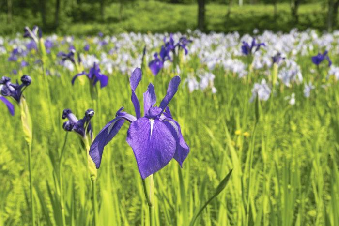 ■和名 カキツバタ(杜若)  ■学名 Iris lavigata  ■アヤメ科アヤメ属  ■多年草  ■原産地 日本、朝鮮半島、東シベリア  かきつばた(杜若)は古来より日本にある植物で、江戸時代前半から観賞用に多くの品種が改良された古典園芸植物です。  開花時期は夏の気配がしてくる初夏、5月~6月頃に、浅い水辺から50cm~70cmの丈を伸ばし深みのある鮮やかな青色の花を咲かせます。  日本最古の和歌集である万葉集や900年代の書物、伊勢物語にも和歌で詠われ、その魅力は人々に愛され続けています。  江戸時代になるとかきつばた(杜若)といえば尾形光琳が描いた屏風絵で金箔六曲屏風「燕子花」と「八つ橋」が名高く、深い青色が印象的なに描かれている、かきつばた(杜若)を描いた世界最高峰の作品となっています。  さて時代を問わず芸術家の目をひき、人々の心を奪うほど美しい、かきつばた(杜若)ですが、「いずれがあやめか、かきつばた」のことわざがある様に江戸時代中期に入るとあやめ(菖蒲)の品種改良が進みあやめ(菖蒲)の人気が出てきました、よく似た花の形をしている事から、この2つの植物は比べられるようになり、どちらも素敵で選ぶのに迷うほどよく似ています。  素敵なお花を眺めながら、どちらにしようかな?と悩める喜びも幸せな時間ですね。