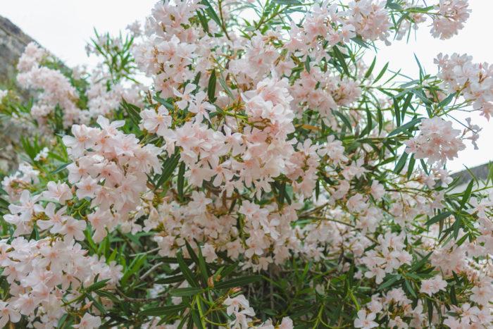 置き場所 夾竹桃(キョウチクトウ)は日当たりの良い場所におきましょう。  日照が不足すると花が咲かず蕾が落ちてしまいます。  水やりと管理 夾竹桃(キョウチクトウ)の水やりは庭木として植えた場合、よほど雨が降らない日が続かない限り、降水の雨水だけで大丈夫です。  植え替えた場合の若い苗や鉢植えで育てている場合が土の表面が乾いたらたっぷり与えましょう。  土 夾竹桃(キョウチクトウ)は栄養の少ない土は痩せた土でも良く育ちますが、植え付け時に腐葉土を混ぜたら一度だけで大丈夫です。  水はけのよい土壌に植え付けましょう。  挿し芽、挿し木 夾竹桃(キョウチクトウ)は挿し芽で増やす事ができます。  1.10cm~20cm切り、葉は土に埋める場所に生えている葉は取り除き、土から上に出る葉は半分にカットします。  2.カットした枝は水に1時間程浮かべて水をよく吸わせます。  3.植木鉢に入れた土を水で濡らし、葉を取り除いた箇所の枝を差し込みます。  挿し芽は水に生けているだけでも発根します。  肥料 夾竹桃(キョウチクトウ)の肥料は2月頃、化成肥料を少し与える程度で大丈夫です。  肥料をあまり必要としません。  害虫、病気 夾竹桃(キョウチクトウ)には害虫は殆どつきませんが、日陰や湿度に弱く灰色かび病にかかります。