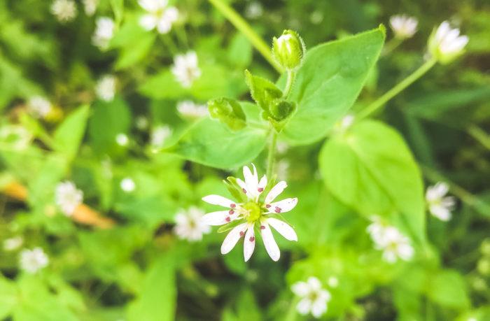 ■植物名 ハコベ  ■学名 Stellaria media  ■ナデシコ科ハコベ属  ■越年草    ハコベは春の七草の一つで、株元から細い茎を地を這うように出し、春の陽気の中で柔らかそうな葉と小さな白い花を咲かせます。  学名にも付いているStellariaは星を表す言葉で星が輝くように放射状に咲く事から名づけられました。  ハコベラと呼ばれる事もあり、これは万葉集に波久倍良(ハクベラ)の名で記されていたことが語源となっているようです。  万葉集の中でも詠われている様に古くから日本に自生する植物です。  目だ立ずに季節の中で静かに咲く花ですが、万葉集にも詠われれいる事を思うと、その可憐な花は人の心をとらえた事を感じます。  春になるとハコベの周りには小鳥が集まり、ハコベを春の光景を目にします、小鳥が好む草として別名「ヒヨグサ」とも呼ばれています。