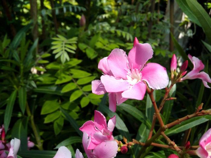 夾竹桃(キョウチクトウ)は江戸時代の中期にインドから中国を通って日本へ渡ってきた常緑低木です。  夾竹桃(キョウチクトウ)の花が咲く時期は夏の盛り蝉の声が聞こえる季節の7月〜9月。痩せた土壌でもよく育ち、日当たりが必要です。  夾竹桃(キョウチクトウ)の花はよく見るとプラスチックに似た光沢があり、大きさは4cm程の筒状で先が5枚に裂けて少しねじれたプロペラのような花びらの形をしています。  夾竹桃(キョウチクトウ)の花の色は白、ピンク、赤、黄色があり、形は八重咲きと一重咲きがあります。葉の形は長細くボート型をしていて先が尖っています。葉の色は濃い緑色と斑が入ったものもあります。  夾竹桃(キョウチクトウ)の葉の裏側に小さくくぼんでいる所があり内側には毛が生えていてフィルターの役割をしています。これは、外から来る排気ガスなどの有害物質を防げる形になっています。その為、公害に強く街路樹や公園、高速道路、工場等の緑化に植えられる事が多い植物です。  可憐で可愛い花ですが、その姿とは裏腹に強い毒を持っています。