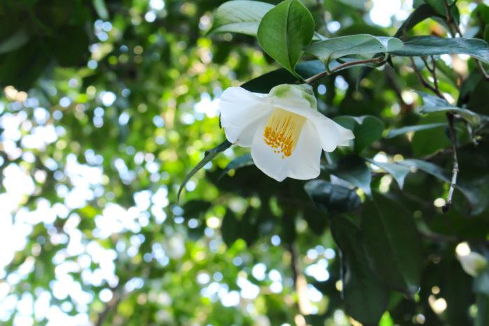 選び方 花が開花する1月~2月が苗の購入の適期です。花の形や色合いなど、直接確認し自分の好みの品種を探しましょう。病害虫に侵されておらず、葉の色が濃くてつやのあるものを選びます。実生苗や挿し木1年生など小さな苗を購入する場合はあまり花が咲いていないものの方が良いです。極端に花数の多い株は株が弱っている可能性がありますので注意しましょう。目的の品種がある場合、少し割高ですが接ぎ木苗を購入すると失敗がありません。  種まき 種まきは種が成熟して黒くなる9月~10月に採り撒き(種を採りそのまま撒く事を採り撒きと言います)します。採り撒きできない場合は湿らした川砂に種を入れ、冷蔵庫で保管し春にまくようにしましょう。赤玉土単体か赤玉土と鹿沼土を等量混ぜたものに種の3倍の深さの穴をあけて種をまき土をかぶせます。発芽率はさほど良くないので、少し多めにまいたり殻にペンチで少しだけひびを入れておくと良いです。発芽後は1本ずつ分けて植え替えます。この時、根を半分程度切ってから植えると側根が伸びやすくなり、強い苗に育ちます。  種まきの場合、種から同じ花が咲くとは限らず、接ぎ木した元の花が咲く場合が多くあります。  現在咲いている花の椿を増やしたい場合は、挿し木で育ててみる事がおすすめです。  植え付け 植え付けは花後の3月~4月、または花芽が固まった9月~10月が適期です。地植えの場合は根鉢の倍程度の幅の穴を掘り、土を調整した後に根鉢を崩さないように植え付けます。この時に深植えにならないように注意し、根鉢の表面が地と同じ程度になるように調製します。水極めをしてしっかり植えた後は根が活着するまで支柱で支えてあげると良いでしょう。鉢植えにする場合はポットの大きさよりやや大きめの鉢に植え付けます。目安としては1~2号ほど大きいもので、あまり大きすぎると株が弱る原因になります。鉢底には大粒の鹿沼土を敷き水はけを良くするとともに、酸性に傾けます。植え付けた後は1~2週間程度日陰で養生し、その後徐々に日に慣らしていきます。  剪定・切り戻し 樹形が乱れることはあまりないですが、だんだん枝が込み合ってきますので花が終わった後4月~6月に剪定を行います。剪定は懐枝や分岐している枝を間引くように分岐部分から切ってあげます。また、頂点も切り戻してあげると高さを抑えることができます。6月になると花芽の形成が始まりますので、花後できるだけ速やかに剪定してあげると花数が落ちません。強剪定は株を弱らせますので、毎年少しずつ形を整えていくようにしましょう。切った枝は挿し木の挿し穂にすることができます。  増やし方(株分け、挿し木、葉挿しなど) 椿の花が咲くころに旅行先や近くの家で美しい椿に出会うことがあります。そんな時はお願いして少し枝を分けてもらいましょう。実の場合は同じ花が咲くとは限りませんが、枝を挿し木にすることで同じ椿を増やすことができます。適期は6月~7月ですが、室内で管理すれば確率は落ちますが一年中、挿し木が可能です。その年に伸びた若い枝を10~20cm程度に切り、大きな葉は蒸散を防ぐために半分に切り取ります。鉢に小玉の赤玉土を入れ十分に給水させた後、枝を水揚げして挿します。その後、鉢ごとビニール袋で包んで数か所空気穴をあけて湿度を保ちながら明るい場所で管理します。また、枝を切らずに発根させる「とり木」もできます。枝の樹皮を2cm程度はぎとり、水を吸わせたミズゴケでその部分を包み込み、ビニール袋で密閉します。乾かないように管理するとミズゴケから根がのぞきますので、株から切り取って土に植えてあげましょう。  病害虫 害虫ではチャドクガというガの幼虫が花後と夏場に発生します。葉の裏や新芽の部分に群がって葉を食害します。この幼虫や幼虫の死体の毛に少しでも触れると痛痒い発疹が出てしまうので絶対に素手で触らないように注意しましょう。葉の裏に黄色い卵塊を見つけたら葉ごと切り取って処分します。また、幼虫を見つけた場合はピンセットなどで捕殺するか枝ごと処分すると良いです。この時も肌の露出を極力抑えるようにし、発疹がでたら皮膚科を受診するようにしましょう。また、カイガラムシも椿につきやすい虫です。カイガラムシはすす病を誘発するので、5月~6月にかけてカイガラムシやチャドクガ、病気予防のために殺虫剤や殺菌剤を散布するようにします。 病気は花期に花腐菌核病が発生し、花びらに茶色い斑紋がでて落ちてしまいます。花が落ちても菌は生きているので、花期中は下に落ちた花をこまめに処分するようにしましょう。また、すす病は見た目も悪くなりますし、光合成も抑制されるので、原因であるカイガラムシを早めに駆除します。その他にも褐斑病やもち病、炭疽病などが出る場合がありますが、椿自体は病気に強い植物ですので、