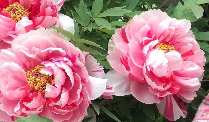 ボタン科ボタン属の落葉低木です。島根県の大根島は牡丹の産地で、300年ほど前から栽培されています。中国から薬用目的で輸入されてきました。4月下旬~5月上旬の最盛期には数万株の牡丹が開花しとても華やかです。昭和28年にNHKらで行われた「郷土の花」の公募で制定されました。
