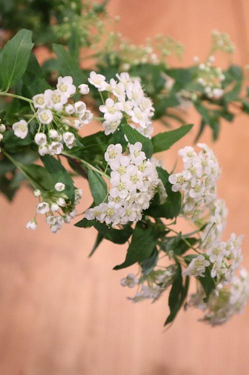 花の時期 4月~5月  コデマリはバラ科の落葉低木で株元から多くの枝を出し、高さ2mほどの株立ちになります。1cmに満たない白い小花が20以上も集まって3cmほどの小さな手まりのような丸い花姿になり別名テマリバナといいます。長く伸びた枝が新葉が展開した短い枝先についた花の重みで枝垂れて弓なりに花が浮かび上がるように咲くので一層引き立って見えます。コデマリは切り花としての流通も豊富です。