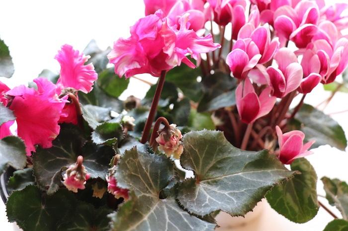 シクラメンの夏越しについてご紹介しました。  今回はガーデンシクラメンの夏越しの記録をピックアップしましたが、室内用のシクラメンの夏越し方法も基本的には同じなのでぜひ挑戦してみてくださいね。  贈り物でいただいた立派なシクラメンや、お気に入りのシクラメン、できたら毎年花を咲かせたいですよね。  夏越しは場所選びが重要です。シクラメンの球根が腐らずに無事に夏越しできる場所を探してあげてください。夏の間は球根または葉っぱだけの状態でとても地味なのですが、秋になってシクラメンのつぼみが次々と出てくる様子を発見したときは、わくわくが止まりませんよ。