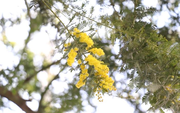 ミモザはマメ科の半耐寒性常緑高木で、開花期は3月です。樹高は500㎝~1800㎝にもなります。  日なたと水はけのよい用土を好みます。生長は早く大きくなりますが、強風で倒れやすいので添え木などで補強してあげるといいですね。東京以西では庭植えできます。春にミモザの花が咲くお家、素敵ですよね。