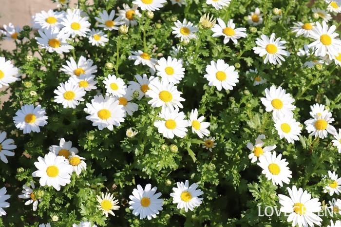 キク科の耐寒性一年草。開花期は11~5月で、日なたならどんな用土でもよく育ちます。東京以西では秋に苗を植え付けると初夏まで咲き続けます。
