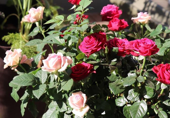 カーネーションの鉢植えも華やかで人気がありますが、バラやアジサイなどの鉢植えもとても喜ばれます。