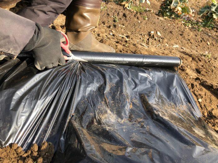 10.  畝の最後までマルチをかけたらハサミでマルチを切り、マルチの端を土でピンと張るように埋めましょう。
