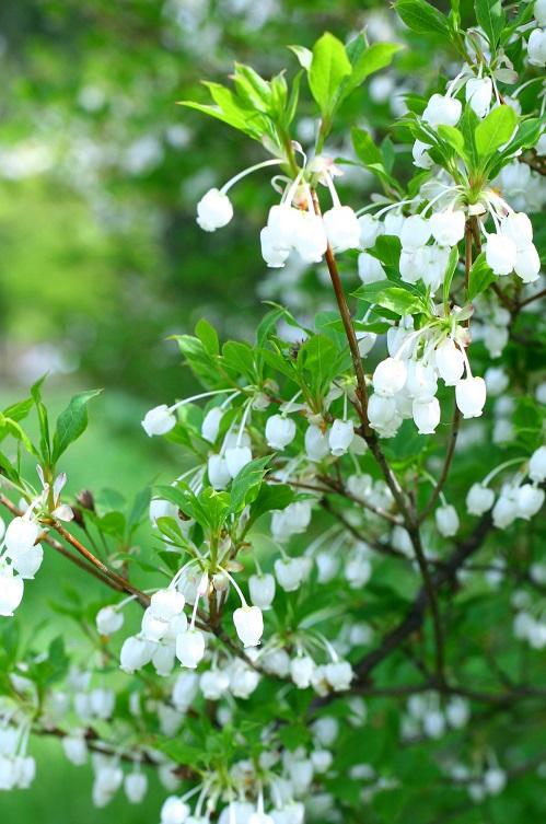 花の時期 4月~5月  ドウダンツツジは、4月~5月にすずらんに似た白いつぼ型の小さな花を咲かせる落葉低木です。新緑も美しいドウダンツツジですが、圧巻なのは紅葉です。オレンジ色から徐々に真っ赤に色づいて、最後は燃えるような赤に染まる姿はとても美しい庭木です。  刈り込みに堪えるので生垣などにもよく利用されています。洋風にも和風にも合うので、利用範囲が広い植物です。ドウダンツツジは切り花の枝ものとしても流通しています。