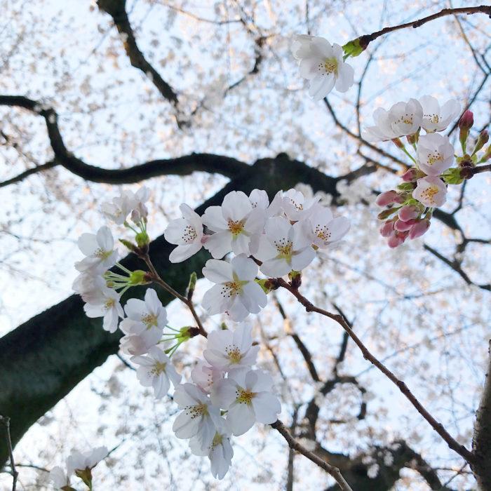 3月27日は「さくらの日」として知られています。  日本の歴史や文化、風土と深くかかわってきた「さくら」を通して、日本の自然や文化について、国民の関心を高めるため、日本さくらの会により1992年に定められました。  二十四節気の「桜始開」が3月25日~29日ごろをさすことと、3(さ)×9(く)=27のごろ合わせから3/27がさくらの日に制定されました。