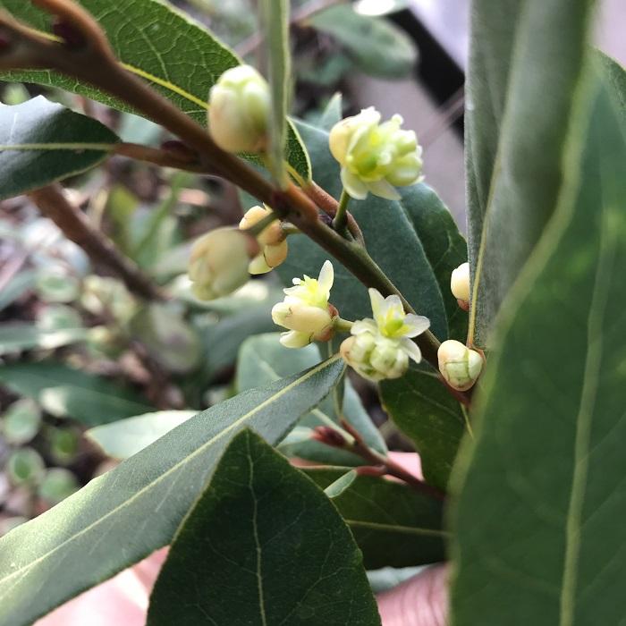 月桂樹(ローリエ)は3月下旬~4月にポンポンのような薄黄色の花を咲かせ、秋には紫色の8~10ミリくらいの実をつけます。