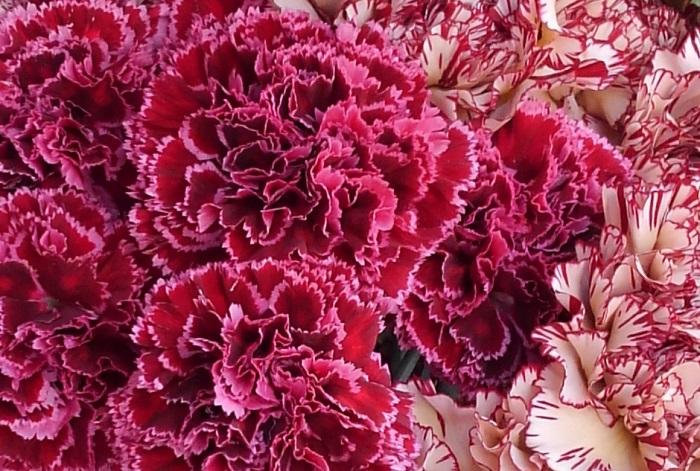 生花のカーネーションはフレッシュでとっても華やか。日頃の感謝の気持ちがストレートに伝わり、その場の雰囲気をぱっと明るく盛り上げます。  最近はカラーバリエーションが豊富で、赤やピンク、紫、黄色、オレンジ、ベージュ、グリーンや複色などがあり、お母さんの好きな色の雰囲気で選ぶことができます。