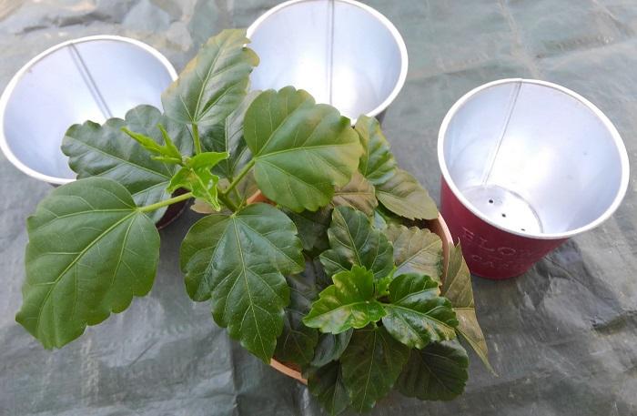 3本の挿し木をそれぞれに鉢上げします。  ブリキ缶の底に穴を開けて鉢底石を敷き、肥料入り培養土を使って植えていきます。