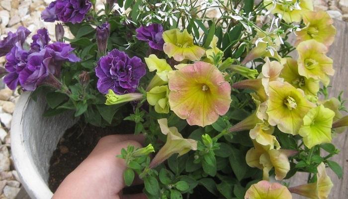 ひとつの鉢に何種類かの植物をいっしょに植えて楽しむ「寄せ植え」は、一見難しそうに見えるかもしれませんが、少しのコツをつかめば、初心者でも簡単に作ることができ