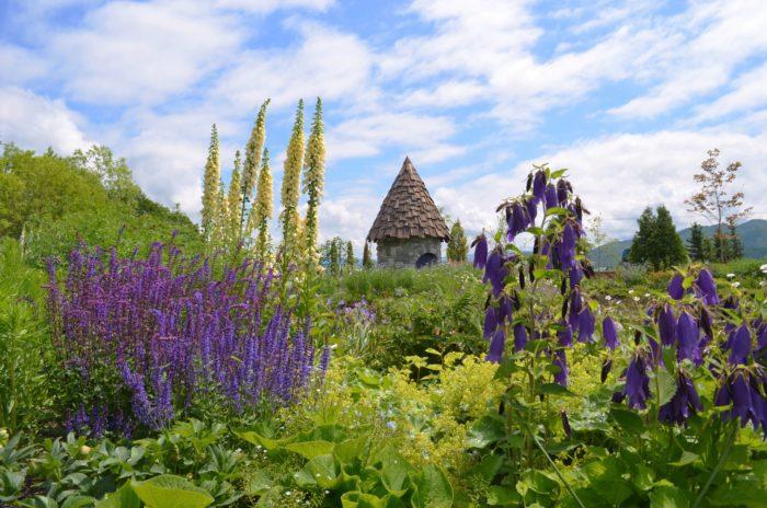 上野ファームのガーデンがもっともにぎわう季節です。  ラテン語で「ヒゲ」を意味する、葉や茎が柔らかい毛で覆われているバーバスカムの花。様々な色がありますが、特に青い色が美しいデルフィニウム。ドラマ「風のガーデン」の物語の中で押し花にされていたカンパニュラ。背の高いブルーのお花のエゾクガイソウ。北海道を代表する花の一つで、野バラの原種であるハマナスをはじめ様々なバラが咲きます。  ※2006年テレビドラマ「風のガーデン」とは、脚本倉本聰さん、主演中井貴一さん、その他のキャストに黒木メイサさん、神木隆之介さんなどが出演。そしてドラマ公開間近に急逝された緒形拳さんの遺作となったフジテレビ開局50周年を記念して制作されたドラマです。ドラマのサブタイトルは、スノードロップ、カンパニュラなどの花の名前が使用されており、上野さんが一から手掛けたガーデンがドラマの情景の印象的な見どころとなっています。