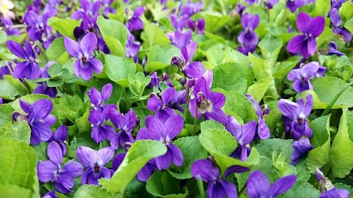 よく色の例えで聞く「スミレ色」。実際にはどんな色なんでしょうか。ちょっとロマンティックな表現で耳にする色の名前です。「バイオレット」との違いはなんでしょう。  「スミレ色」とは、文字通りスミレ(菫)の花の色です。そのスミレ(菫)の花は種類豊富で色の定義が難しいのですが、「スミレ色」と言われた場合、青味の強い鮮やかな紫色を指します。淡い紫色は「藤色」と言いますので、スミレ色ではありません。「バイオレット」も「スミレ色」と同じ青紫色を指します。