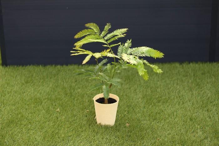 エバーフレッシュは流通名で、和名はアカサヤネムノキといいます。和名に記されるように、柔らかい緑の葉はネムノキに似て、淡黄色の花が咲きます。