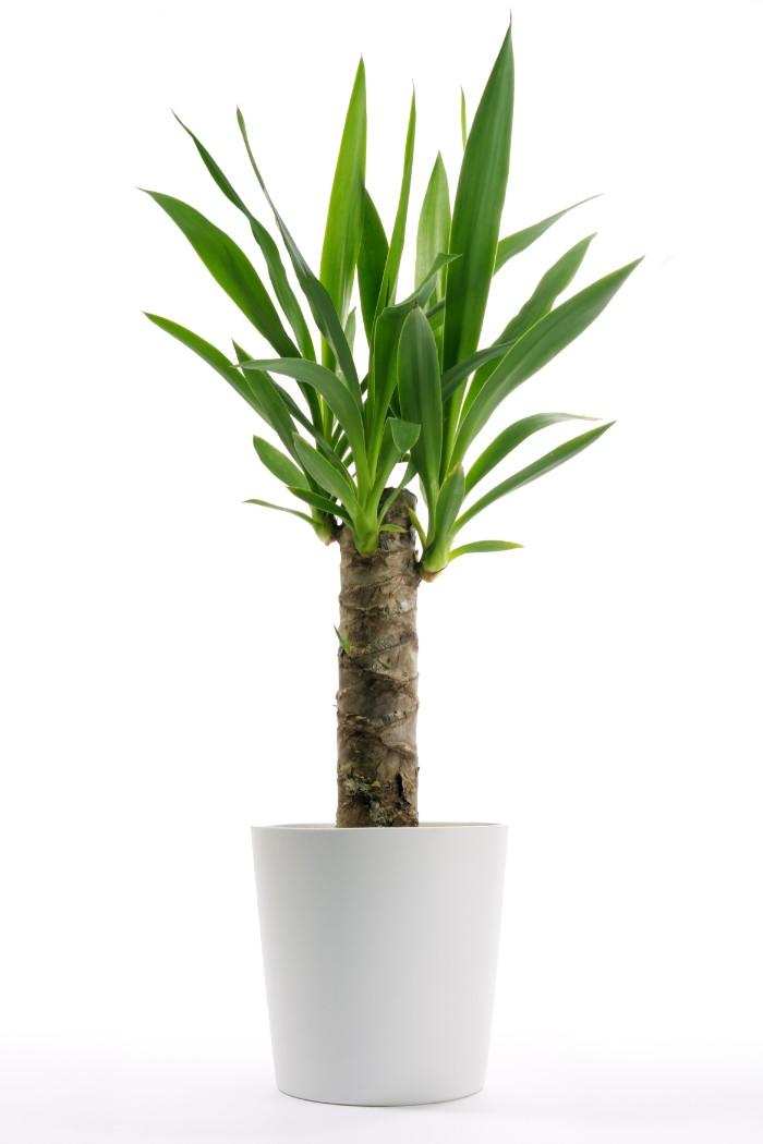 「青年の木」として親しまれ、引っ越し祝いには定番の縁起のよい観葉植物です。風水では、金運や仕事運を呼び込み、魔除けの効果があるとされていいます。