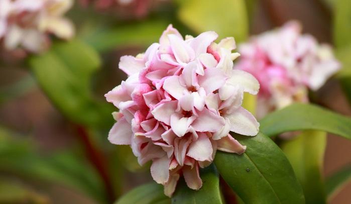 沈丁花は、春の香りが良い花の代表。クチナシ、キンモクセイと合わせて三大香木と呼ばれています。