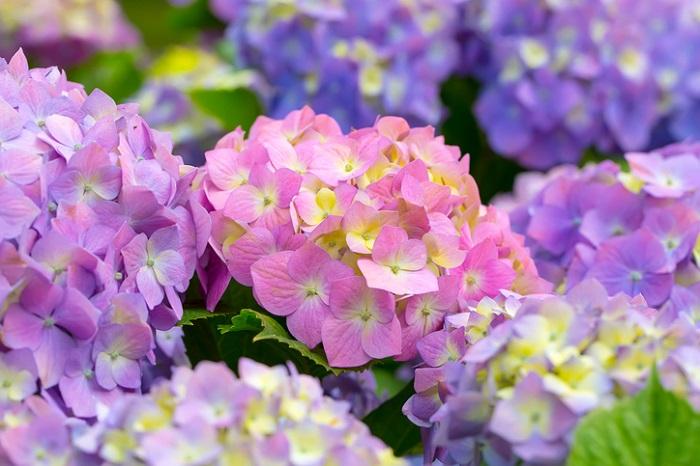 日本のガクアジサイをヨーロッパで品種改良したものがセイヨウアジサイ。ハイドランジアという名前でお店に並んでいることもあります。
