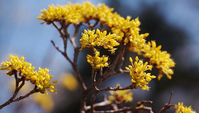 黄色い花をたくさんつけるサンシュユ。秋にはグミのような赤い実がなりますが、それは果実酒にすることができます。