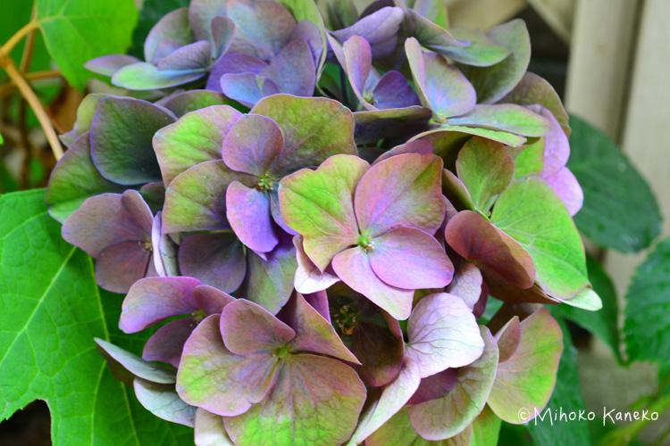 育てている秋色系のあじさいをドライフラワーにする場合は、<strong>花の開花後しばらくして、最初の花色から色が変化して、花弁(ガク)に厚みがでてきたタイミングで剪定してドライフラワーにすると、</strong>きれいなドライフラワーになりやすいでしょう。