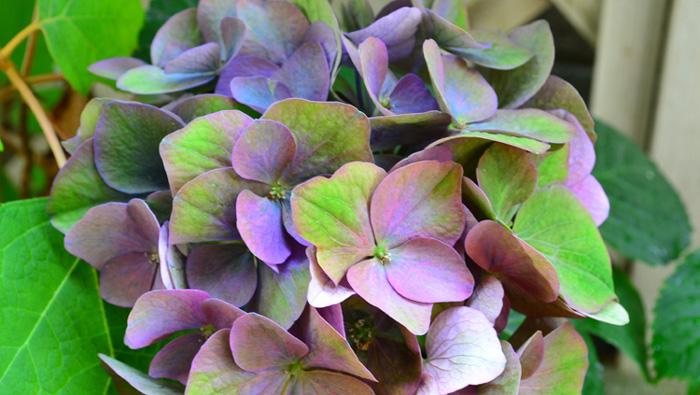 秋色系アジサイ・長崎の恋。通常のアジサイの他に、秋色アジサイと呼ばれるアジサイもあります。秋色アジサイとは品種名ではなく、通常のアジサイの開花時期である初夏に咲いた花が、気温の変化などによって、時間をかけてアンティークカラーの色あいに変化した状態のことを「秋色アジサイ」と言います。最近は、新しく品種改良されてできたアジサイの中には、きれいな秋色に変化するように作られている品種も出てきました。西安(シーアン)やマジカル系など、年々色々な品種が出回っています。
