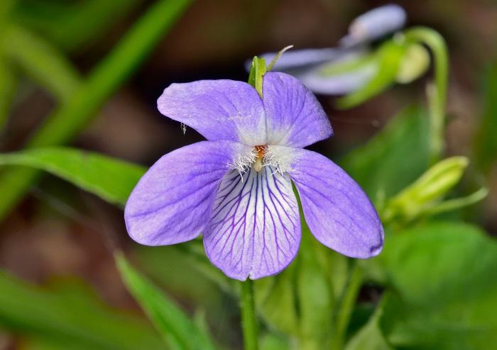 スミレ(菫)の花にどんなイメージを持っていますか。可愛らしい女性の例えに使われる他、「すみれ色」のスミレ(菫)など、何かを表現するのに使われることの多い花です。ちょっとイメージばかり先行しているような感じもします。実際のスミレ(菫)の花姿は見たことがないという方も多いのではないでしょうか。  スミレ(菫)の花が咲くのは春。桜の花が咲き誇り、みんなが頭上の桜に見とれている頃に、実は足元でひっそりと花を咲かせているのです。スミレ(菫)は、大体3月の下旬から5月くらいまで次々と咲き続けます。