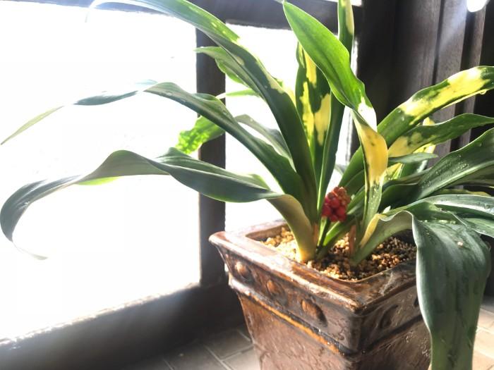 オモトは常に青々としているため「万年青」という名前が付いている観葉植物。昔から縁起の良い植物とされ、引っ越し祝いとして喜ばれます。葉のかたち、色、柄、ひとつひとつのオモトに、それぞれが持つ固有の美しさがあります。