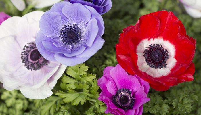草丈25~40cmになるキンポウゲ科の多年草です。茎はスッと直立して直径10cm前後の花を咲かせます。和名はボタンイチゲ(牡丹一華)やハナイチゲ(花一華)といいます。まだ花の少ない2月下旬ごろから5月頃までと開花期が長く、赤、白、ピンク、紫や青など豊富な花色や一重だけでなく半八重や八重など花形の異なる多くの品種があり切り花や花壇で広く栽培されています。