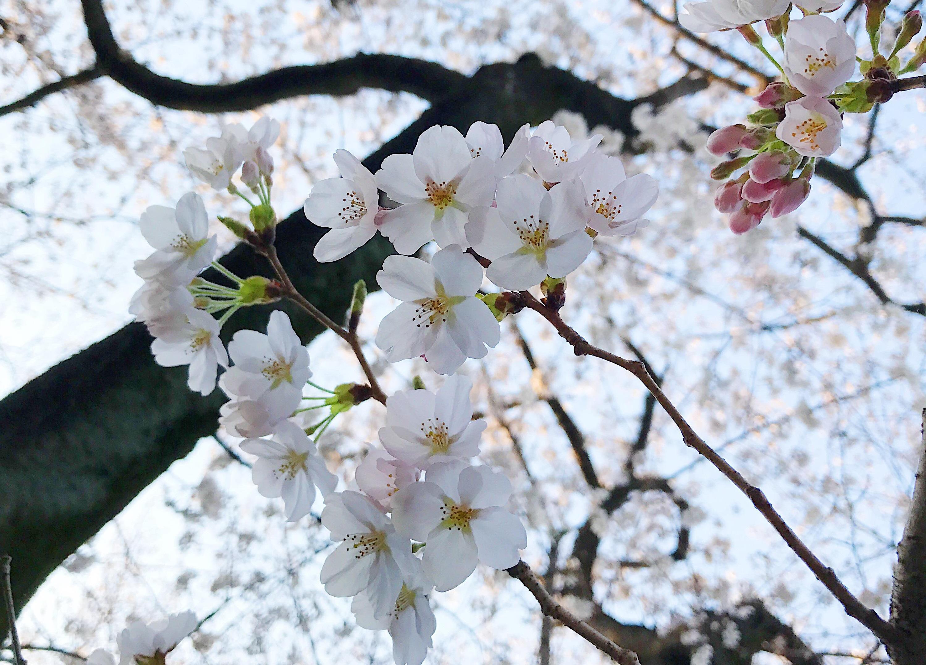 きれいに咲き誇る桜を愛でるお花見は、日本の風物詩とも言える伝統的な行事です。気に入った場所を見つけたら、お花見を楽しみながら、お酒を飲み、周囲の人たちと交流するという文化。本来は心癒されるイベントであるはず...。