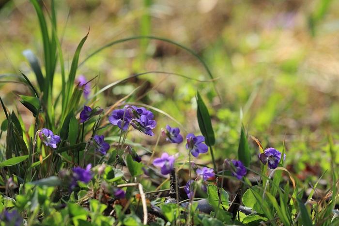 スミレ(菫)は開花時、茎を伸ばさずに葉の上に直接花を咲かせる「無茎種」と、すっと伸ばした茎の先に花を咲かせる「有茎種」と二種類に分かれます。そのなかでも身近で見かけられるいくつかをご紹介します。  スミレ(菫)の無茎種 茎を伸ばさずに、葉っぱの上に直接花を咲かせるタイプです。葉っぱの上にスミレ(菫)の小さな花が鎮座しているようでようで可愛らしく、見ている人の心を和ませます。  エイザンスミレ 学名:Viola eizanensis アリアケスミレ 学名:Viola betonicifolia ノジスミレ   学名:Viola yedoensis  スミレ(菫)の有茎種 茎をすっと伸ばしその先に花を咲かせるタイプのスミレ(菫)です。茎が伸びるタイプは、すっと伸びた華奢な茎の先に俯くように花を咲かせる姿が、まるで恥じらっているかのようで愛らしいです。スミレ(菫)は全体的に柔らかく甘い香りが特徴ですが、特にニオイタチツボスミレは香水のような香りがします。  タチツボスミレ     学名:Viola grypoceras ニオイタチツボスミレ  学名:Viola obtusa アオイスミレ      学名:Viola hondoensis