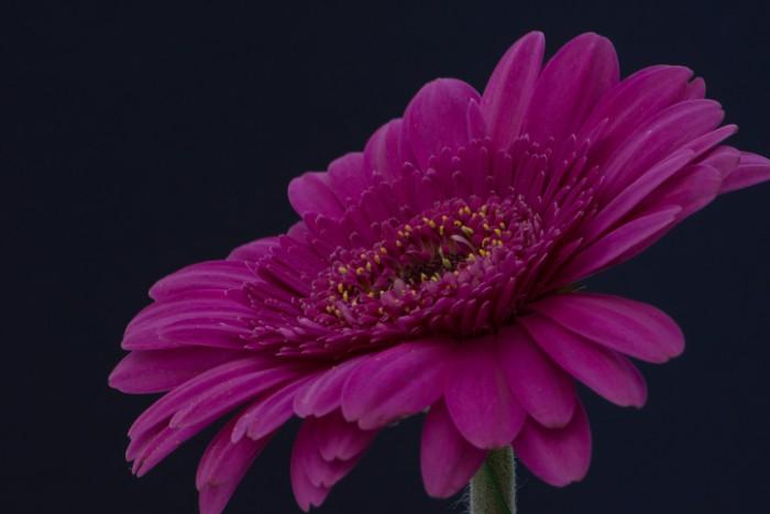色も豊富なガーベラは、花の姿も華やかで生命力を感じさせてくれ、傘寿お祝いに贈るお花にぴったりです。