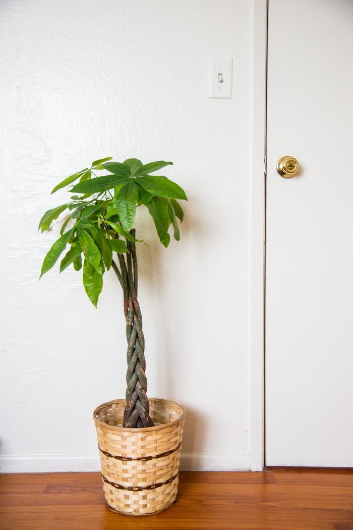 「お金を生む木」とも呼ばれ、縁起の良い観葉植物とされるパキラ。風水的にも、金運、仕事運などを呼び込むとされ、パワーの強い観葉植物です。