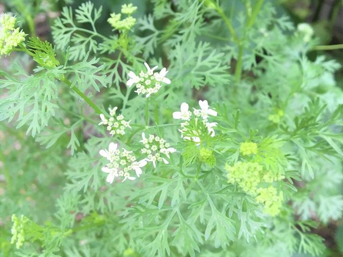 パクチー(コリアンダー)は全力で花を咲かせる為、開花後は株ごと弱ってきます。この時に早めに花芽を見つけて摘み取ることで、パクチー(コリアンダー)がエネルギーを使い果たすことを防げます。よって、長く香りの良い葉が楽しめるというわけです。