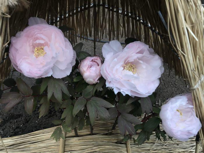 選び方 牡丹(ボタン)の選び方は、接ぎ木苗で品種が確実なものを選びます。台木(根に近い部分)から芽が伸びていないもの、太い茎と生き生きとした芽が出てるもの、鉢植えの場合、しっかりした花芽が3個以上あるものを選びましょう。  種まき 牡丹(ボタン)の種まきは鞘から種を取り出したら水につけ、沈んだものだけをすぐに撒きます。適期は9~10月頃で種が乾燥すると発芽に時間がかかります。接ぎ木で育ったボタンは親と同じ花は咲かず開花までには3年以上かかります。  植え付け 牡丹(ボタン)の植え付けの時期は夏の暑さが苦手で休眠期に入るので、春植えではなく秋植えにします。植え穴は40~50cmほど大きく掘り、堆肥や牛フンをばけつ一杯ほどすきこんで化成肥料を元肥として加え水はけ良く地表から15cmほど盛り上げて高めに植え、接ぎ木部分は10cmほど隠れるようにし、ボタンの自根をださせるようにします。株間は1mくらいとるとよいでしょう。できれば1年目は花芽をとってしまい花を咲かせず木を生長させる方がよいでしょう。  摘芽 牡丹(ボタン)の花を綺麗に咲かせるには、花はひとつの花を大きく育て咲かせると摘芽が必要になります。摘芽とは咲かせたい向きに着いた蕾を残し、同じくらいの場所から同時に出て来た他を芽を摘み取り、ひとつだけ残して育てましょう。  剪定・切り戻し 牡丹(ボタン)の剪定は、9月頃に葉が黄ばんできたら葉を全部摘み取り枝だけにします。その後細い枝や内側に伸びる枝を切り落とします。さらに残った枝も2~3芽を残して切り詰めておきます。台芽が伸びていたらかきとります。  植え替え・鉢替え 牡丹(ボタン)の植え替えは出来る限り避けましょう。牡丹(ボタン)は植え替えを嫌うので生長が悪くなったなどの理由がない限り、植え替えは不要です。株の寿命は15年と言われています。  花 牡丹(ボタン)の花は春に蕾が膨らむと花が風に揺れて傷んだり折れやすいので、支柱をして固定しましょう。冬は雪除け等を作ると雨風、雪から花を保護する事が出来ます。咲き終わったら次の花を咲かせる為、花のすぐ下にある節の当たりで切ります。  収穫 牡丹(ボタン)の種は収穫したい場合、最初に咲いた花を開花後も切らず、そのまま育てましょう。その際、株から他に出てくる花は育てずかき芽をすると栄養が行き届いた種が収穫できます。 種を収穫した株は翌年咲く花は小さくなります。  夏越し 牡丹(ボタン)の夏越しは水苔などをひいて、根が乾燥しない様にしましょう。また真夏の直射日光は苦手な為、傘や簾等で保護すると良いでしょう。  冬越し 牡丹(ボタン)は冬の寒さが春咲き種は必要なので、水は殆ど与えず凍結を防ぐ為に土の上に藁や水苔等をしきましょう。  挿し木の仕方 牡丹(ボタン)の増やし方は芍薬の根を台木(土台)として、カミソリ等で切り込みを入れます。その切込みに穂木(育てたい木)を差し込みます。牡丹は3つ程新芽が出た枝を台木の切込みに形を合わせて鋭く斜めに切って差し込みます。差し込んだらビニールテープや麻ひも等で固定します。 時期は8月~9月が的期です。 新芽が伸び始めたら挿し木は成功です。