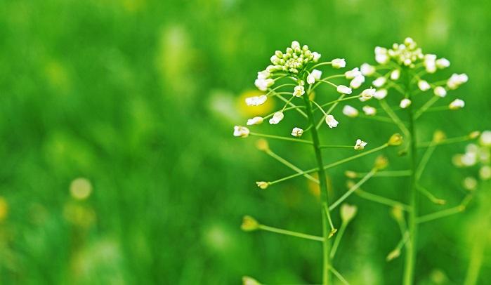 東ヨーロッパから麦と一緒に紀元前に日本へ入ってきたものと思われます。史前帰化植物。