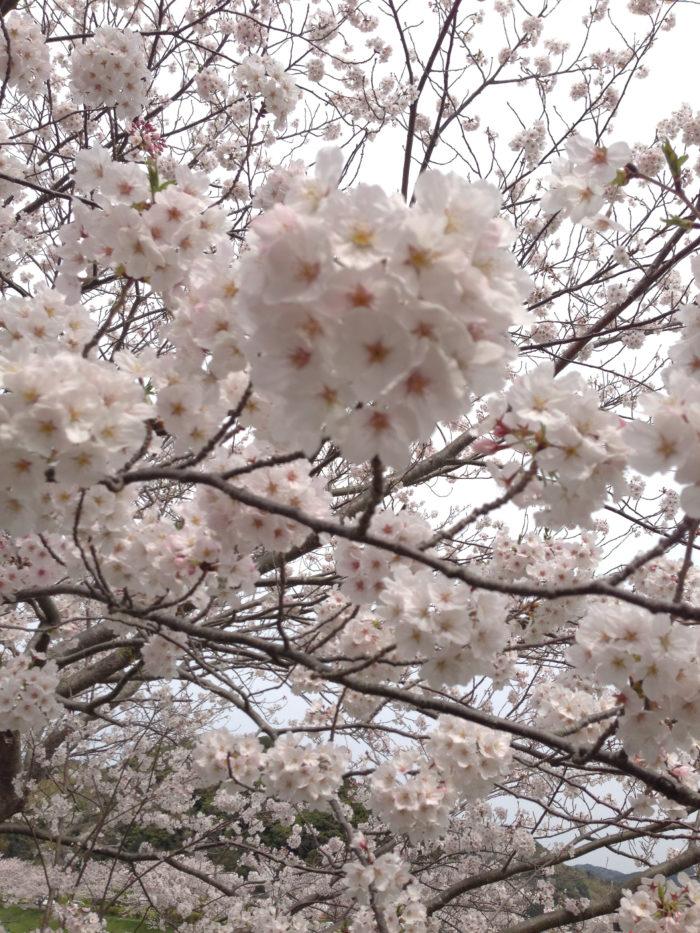 桜が咲く季節になると、なんだかソワソワと心が流行り、早く咲かないかなぁと待ち焦がれてしまいます。日本人にとって無くてはならない植物の桜。  季節の移ろいを優雅に取り入れて桜を楽しみ始めた平安時代よりも、ずっとずっと昔、日本人は太古より自然が生み出す森羅万象(しんらばんしょう)に神様が宿り、自然の動きを敏感に感じ取って暮らしの中に柔軟に取り入れてきました。  植物が芽吹く季節の春は、山から神様が降りてきて、桜の咲く季節に田植えをする事から山の神様が田んぼの神様となり、田の神様は「さ神」と呼ばれるようになりました。桜の「さ」はさ神様の頭文字、「くら」は神様が座っている場所の台座の「くら」から、「さくら」という名前になったようです。  さくらの名前の由来は諸説あり、もうひとつの説は、古事記や日本書紀に登場する女神、木花咲耶姫(このはなさくやひめ)の「さくや」が「さくら」に変化したとも言われています。  どちらの神様も山の上にいる神様で芽吹きを運ぶ神様という共通点があります。  桜といえばお花見ですが、山の神様が下りてくる目印となる桜の木の下で花を愛でながらご馳走やお酒をお供えする行事が始まりと言われています。  桜の下に「さけ(酒)」や「さかな(肴)」など「さ」の付くモノをお供えしてから、そのお供えをみんなで楽しんだ事からお花見という文化が現在も楽しまれています。