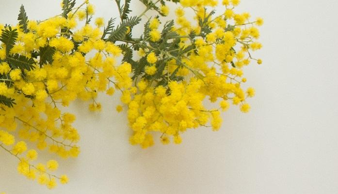 綺麗な黄色でふわふわした咲き方をするのがミモザの醍醐味であり、魅力でもあります。  このふわふわした期間は短いので、ついついジーと見入ってしまいます!今の季節ならではなので、ぜひふわふわのミモザを愛でてみませんか?