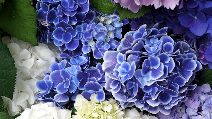 日本原産の植物ですが、ヨーロッパに渡って品種改良されたお花です。  花期が長いことから、花言葉は「辛抱強さ」。英名の「ハイドランジア」はギリシア語で「水の器」という意味。みずみずしさと美しい花の色が、これからも健康でいてほしい相手へのプレゼントにぴったりです。