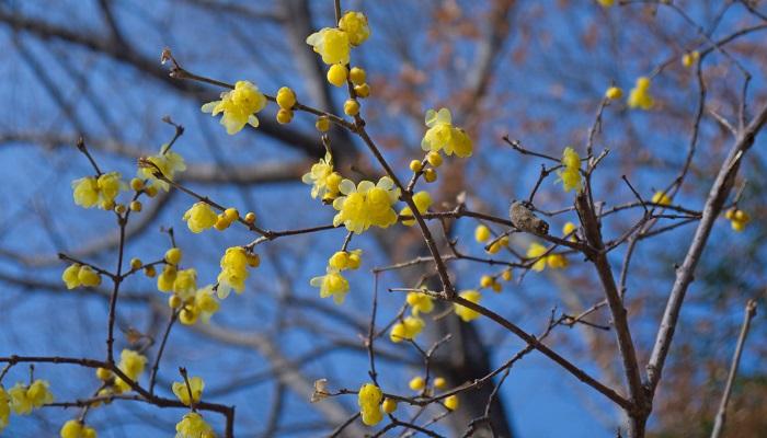 蠟梅は蝋のような質感の黄色い花びらをもつ花です。甘いいい香りがして、街中でこの花を見つけると、どんなに寒くても春は来るんだなあと思います。