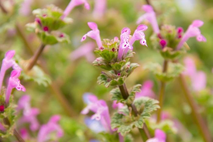 「ホトケノザ」と言えば春の七草です。春の七草は「セリ・ナズナ・ゴギョウ・ハコベラ・ホトケノザ・ナズナ・スズシロ」でお馴染みですよね。春の七草と言えば、即座に七草粥を連想する方も多いのではないでしょうか。ところが、ここに危険なトラップがあるんです。この春の七草に含まれる「ホトケノザ」は、同じ名前の別な植物のことを指しています。道端に生えているホトケノザは食用にはなりません。うっかり食べてしまわないように気をつけてください。但し、絶対に食べてはいけないほどの毒性があるわけではありません。食用には向かない、という話です。